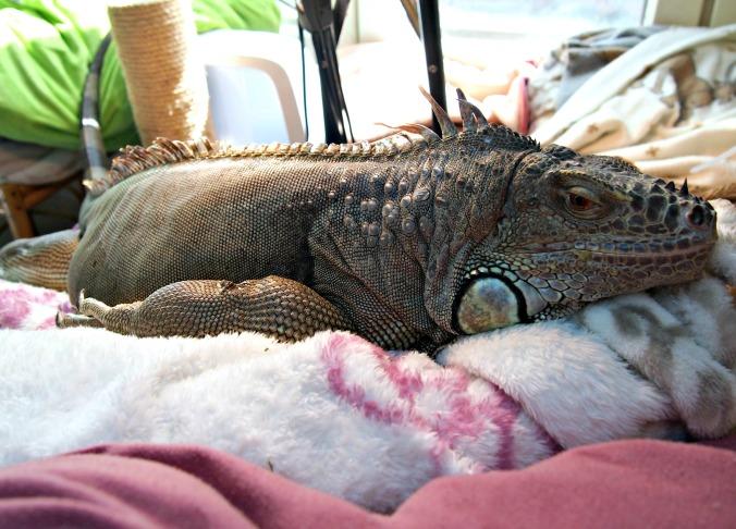 iguaani makaa
