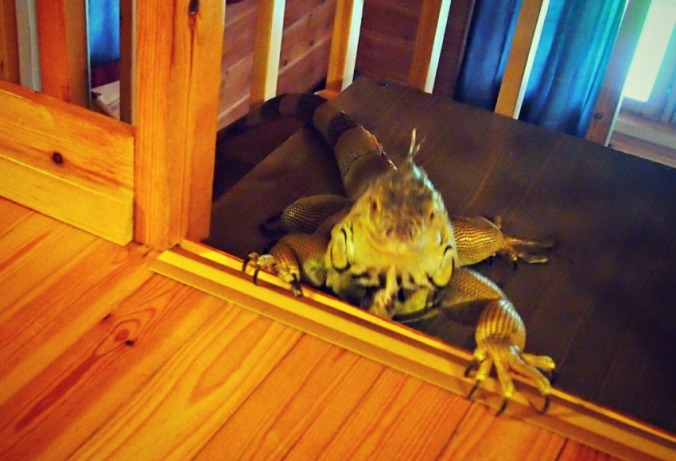 iguaani kiipeää